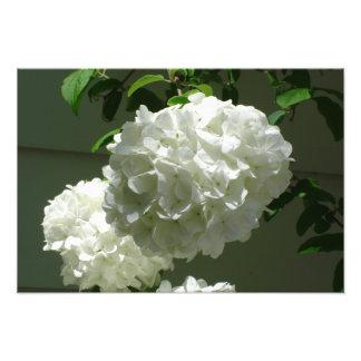 "19""x13"" White Hydrangeas Photo Print"