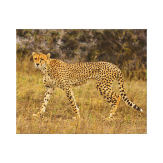 "20"" x 16"" Cheetah in the grass  Canvas print"