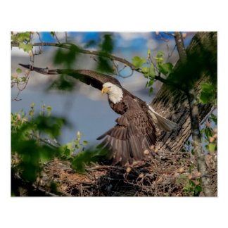 20x16 Bald Eagle leaving the nest Poster