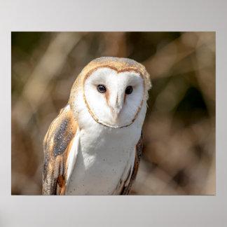 20x16 Barn Owl Poster