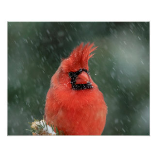 20x16 Cardinal in a pine tree during a snow storm Poster
