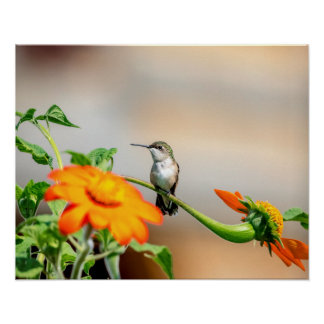 20x16 Hummingbird on a flowering plant Poster
