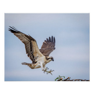 20x16 Osprey landing in the nest Poster
