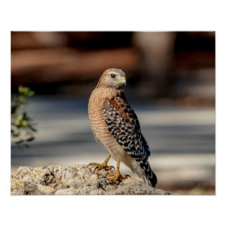 20x16 Red Shouldered Hawk on a rock Poster