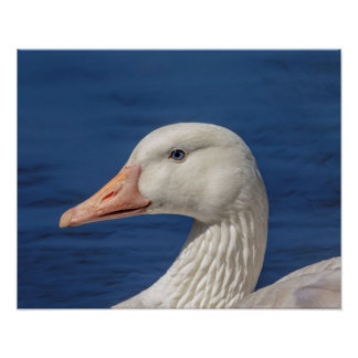 20x16 White Canadian Goose Poster