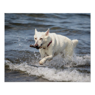 20x16 White German Shepard on Lake George Poster
