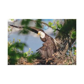 24x16 Bald Eagle leaving the nest Canvas Print