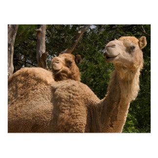 2 Camels Postcard