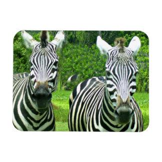 2 Cute Zebras Magnet