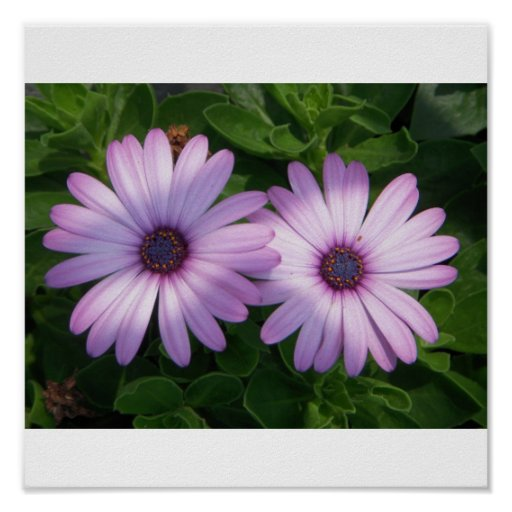2 Purple African Daisies Posters