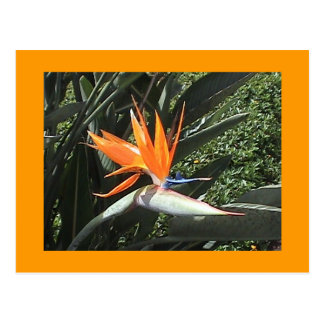 2nd Bird of Paradise Postcard