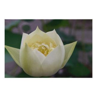"""36"""" x 24"""" Blooming Lotus Photo Print"""