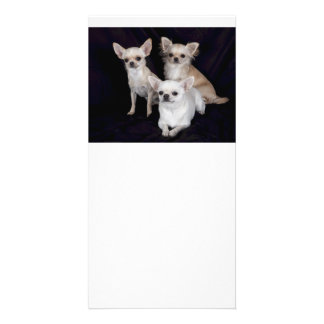 3 chihuahuas customized photo card