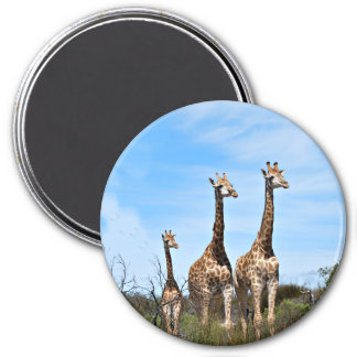 3 Giraffes Magnet