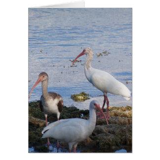 3 Ibis on the shore of Florida Bay Card