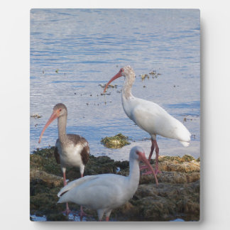 3 Ibis on the shore of Florida Bay Plaque
