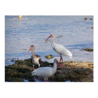 3 Ibis on the shore of Florida Bay Postcard