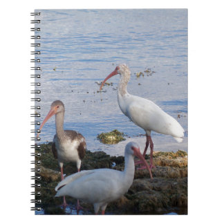 3 Ibis on the shore of Florida Bay Spiral Notebook