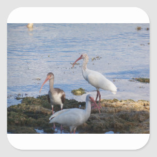 3 Ibis on the shore of Florida Bay Square Sticker