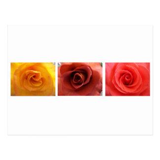 3 Roses Postcard