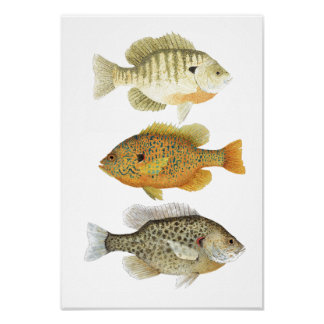 3 Sunfish Watercolor Studies Poster