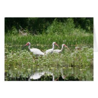3 white ibis card