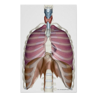 3d rendering of the respiratory system poster