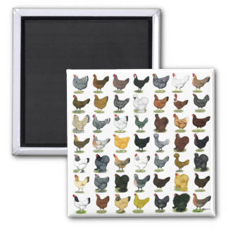 49 Chicken Hens Square Magnet
