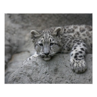 4 month old Snow leopard cub draped over a rock Poster