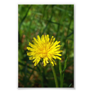 "4"" x 6"" beautiful dandelion photo print"