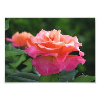 50 shades of Pink Rose Photo Print