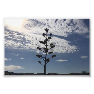 6X4 photo print of blooming agave