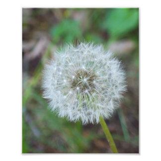 "8"" x 10"" beautiful dandelion photo print"