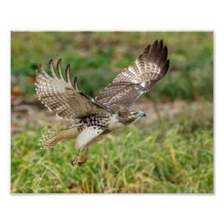 8x10 Immature Red Tailed Hawk Art Photo