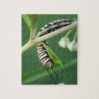 8x10 photo puzzle of monarch caterpillar