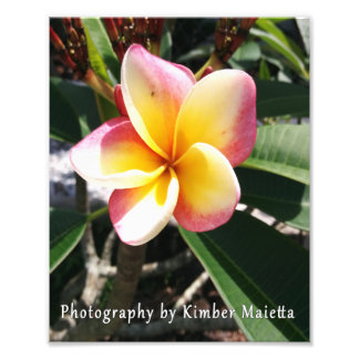 8x10 print- Pink and yellow plumeria Photo Print