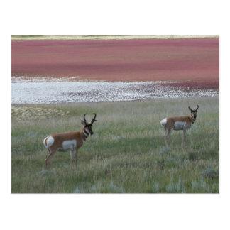 A0002 Pronghorn Antelope Postcard