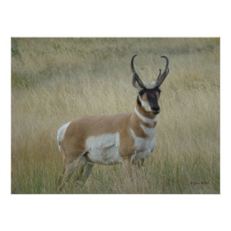 A0008 Pronghorn Antelope Poster
