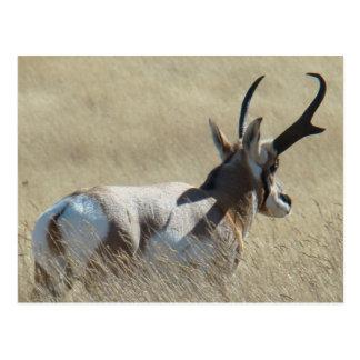 A0014 Pronghorn Antelope Postcard
