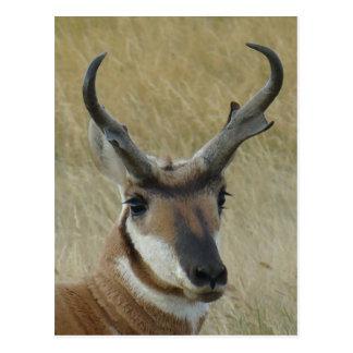 A0021 Pronghorn Antelope head shot Postcard