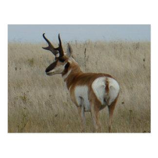 A0022 Pronghorn Antelope Postcard