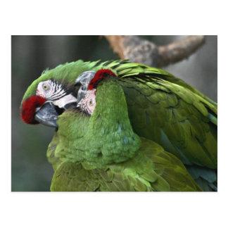 A12 Parrot Couple Postcard