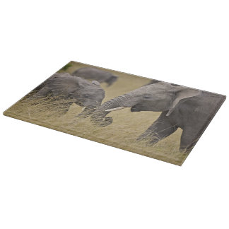 A African Elephant grazing in the fields of the Cutting Board