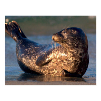 A baby seal lifting it's tail postcard