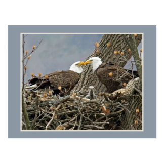 A Bald Eagle Family Portrait Postcard