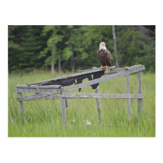 A Bald Eagle perched atop a duck blind. Postcard
