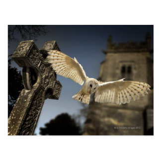 A Barn Owl (Tyto alba) in a graveyard in North Postcard