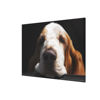 A Basset Hound resting his head Stretched Canvas Print
