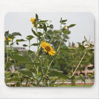 A beautiful sunflower rising high mousepad