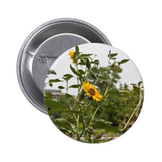 A beautiful sunflower rising high pinback button